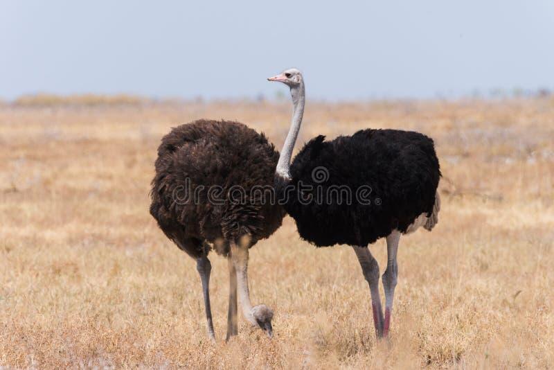 Ζεύγος στρουθοκαμήλων στοκ εικόνες