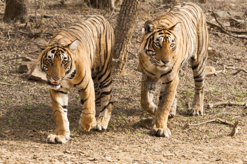Ζεύγος της τίγρης της Βεγγάλης στο εθνικό πάρκο Ranthambore στοκ φωτογραφία με δικαίωμα ελεύθερης χρήσης