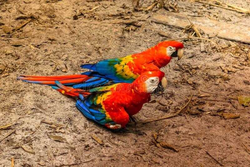 Ζεύγος του macaw σε Iquitos στοκ φωτογραφία με δικαίωμα ελεύθερης χρήσης