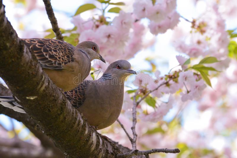 Ζεύγος τρυγονιών με τα λουλούδια yaesakura στοκ εικόνες με δικαίωμα ελεύθερης χρήσης