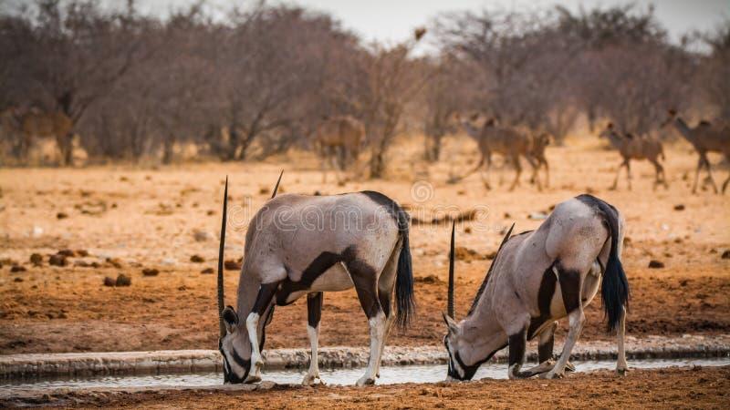 Ζεύγος των αντιλοπών oryx στο εθνικό πάρκο Etosha στοκ φωτογραφία με δικαίωμα ελεύθερης χρήσης