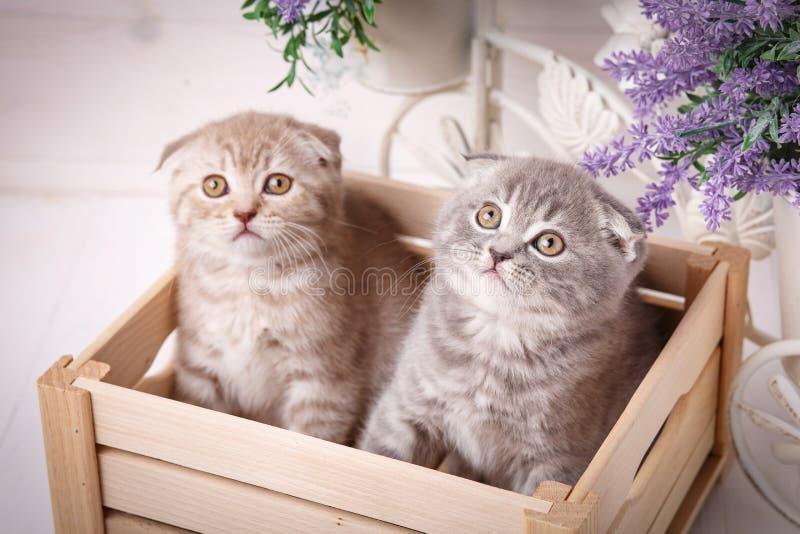 Ζεύγος των αστείων σκωτσέζικων γατακιών που κάθονται στο ξύλινο boxand και που ανατρέχουν στοκ εικόνα