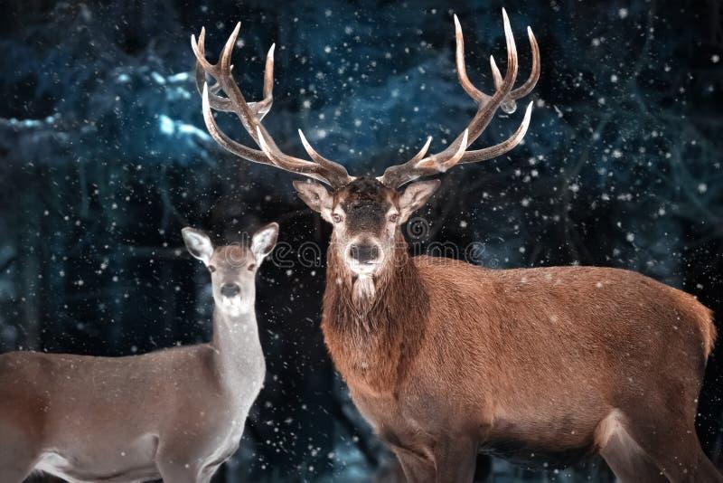 Ζεύγος των ευγενών ελαφιών σε μια χιονώδη δασική φυσική χειμερινή εικόνα Χειμερινή χώρα των θαυμάτων στοκ φωτογραφίες