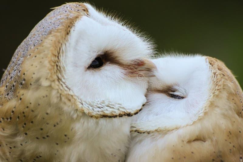 Ζεύγος των κουκουβαγιών σιταποθηκών που καλλωπίζουν η μια την άλλη στοκ φωτογραφία με δικαίωμα ελεύθερης χρήσης