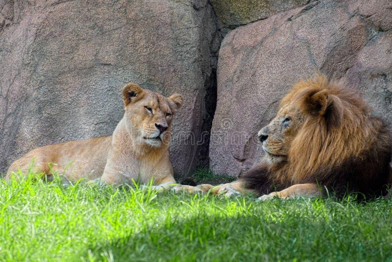 Ζεύγος των λιονταριών στη σκιά στοκ φωτογραφίες με δικαίωμα ελεύθερης χρήσης