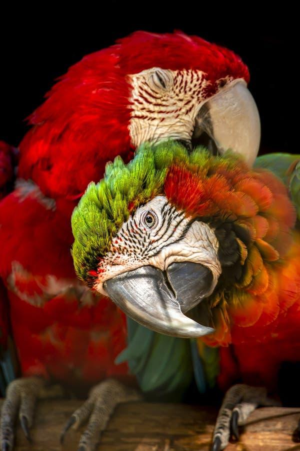 Ζεύγος των στρατιωτικών macaws, στην πέρκα στο φλερτάρισμα στοκ εικόνα με δικαίωμα ελεύθερης χρήσης