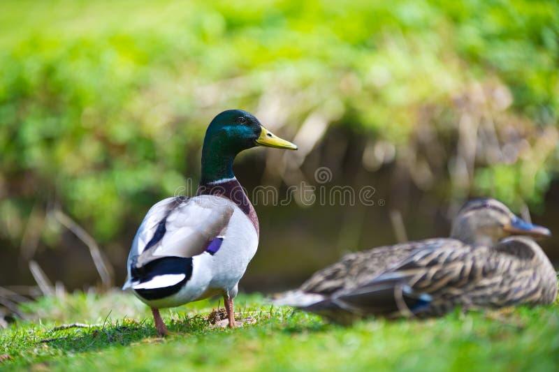 Ζεύγος δύο όμορφων πουλιών παπιών σε έναν χορτοτάπητα στοκ εικόνα