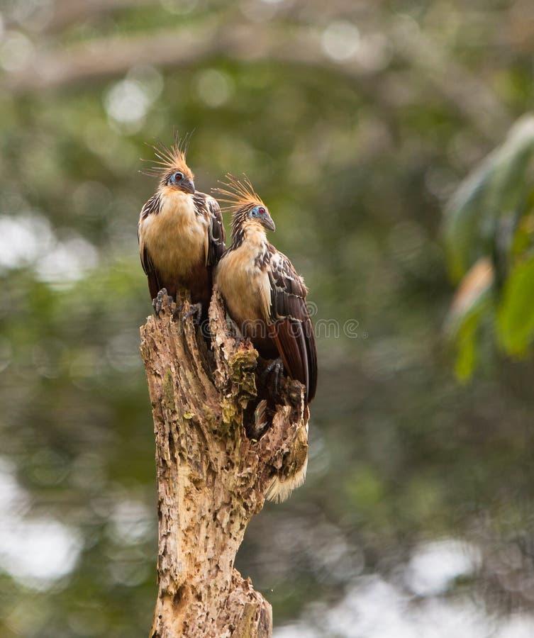 ζεύγος hoatzin στοκ φωτογραφία με δικαίωμα ελεύθερης χρήσης