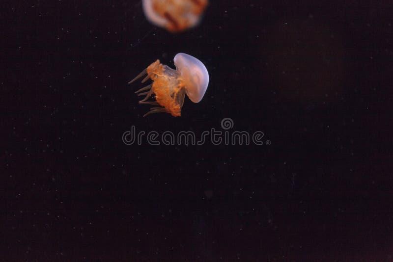 Ζελατίνα φλογών, Rhopilema esculentum στοκ φωτογραφία με δικαίωμα ελεύθερης χρήσης