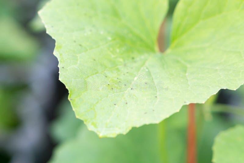 Ζημία σποράς πεπονιών του Yong από το έντομο στοκ εικόνες