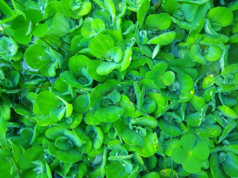 Ζιζάνια πράσινων εγκαταστάσεων στο νερό στοκ φωτογραφίες
