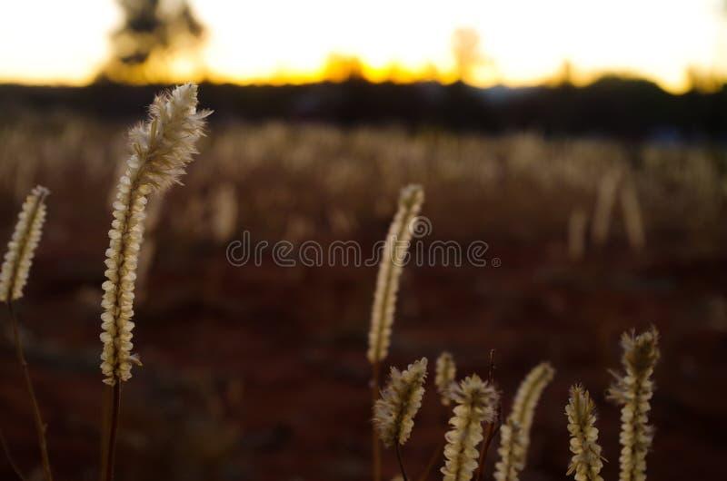 Ζιζάνια στο ηλιοβασίλεμα στοκ φωτογραφίες