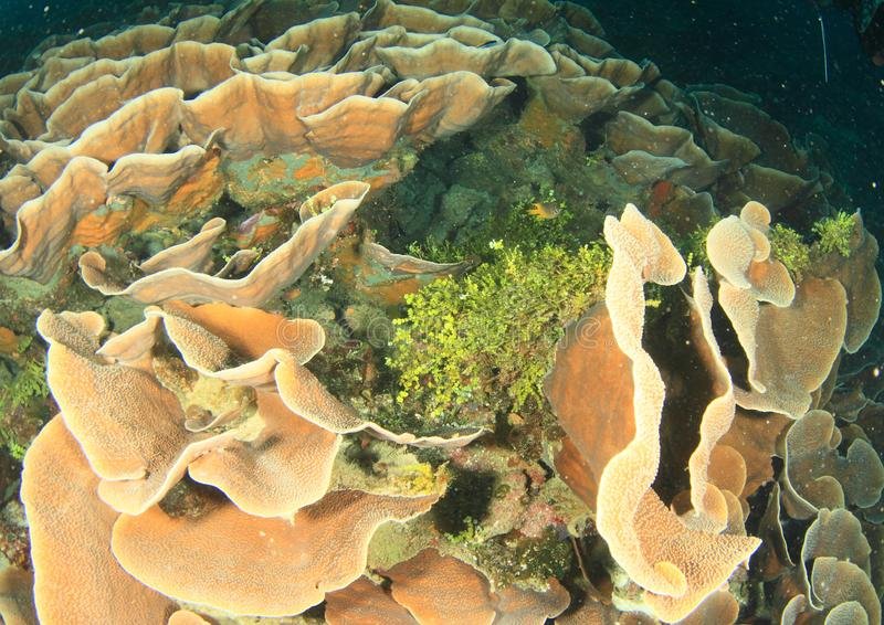 Ζιζάνιο θάλασσας μεταξύ των σφουγγαριών αυτιών ελεφάντων στοκ εικόνες με δικαίωμα ελεύθερης χρήσης