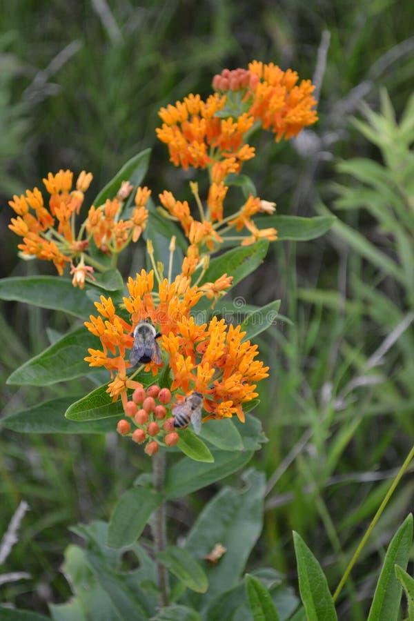 Ζιζάνιο πεταλούδων στοκ εικόνα