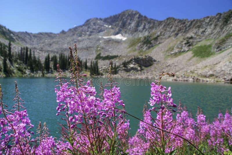 Ζιζάνιο πυρκαγιάς και άσπρη λίμνη πεύκων στοκ εικόνες