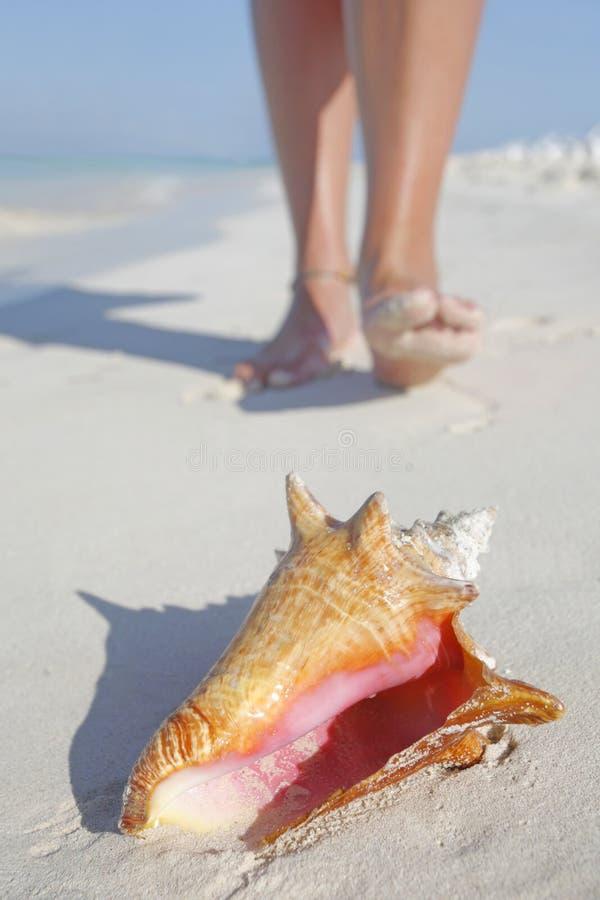ζωή παραλιών conch στοκ φωτογραφία
