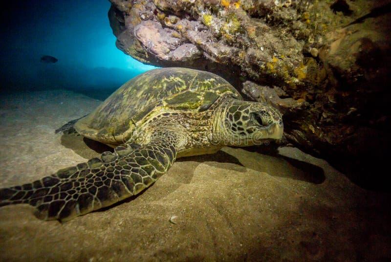 Ζωή σκοπέλων στη θάλασσα στη Χαβάη στοκ εικόνες
