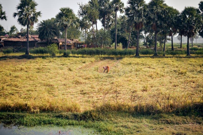 Ζωή στην Ινδία: Ινδικός θηλυκός αγρότης στον τομέα ρυζιού στοκ εικόνες