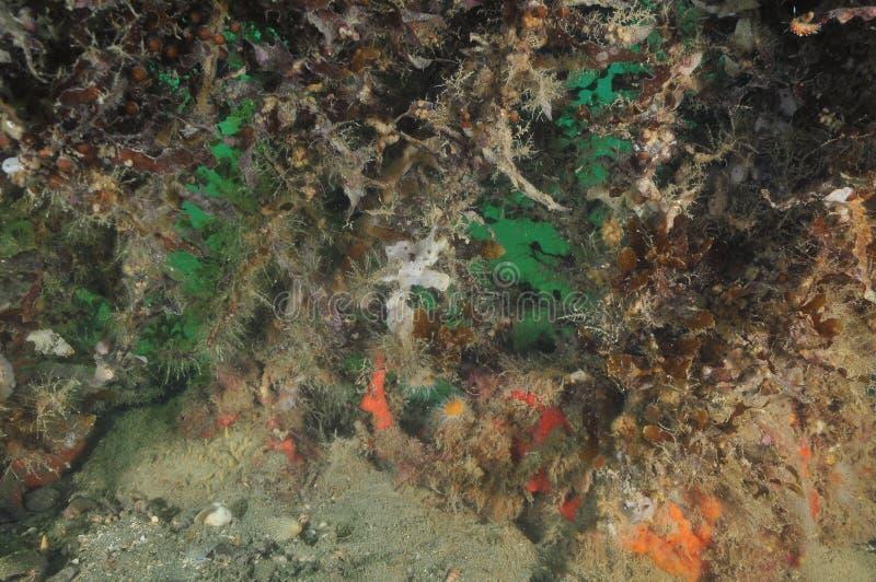 Ζωή Encrusting κάτω από τα καφετιά ζιζάνια θάλασσας στοκ εικόνες