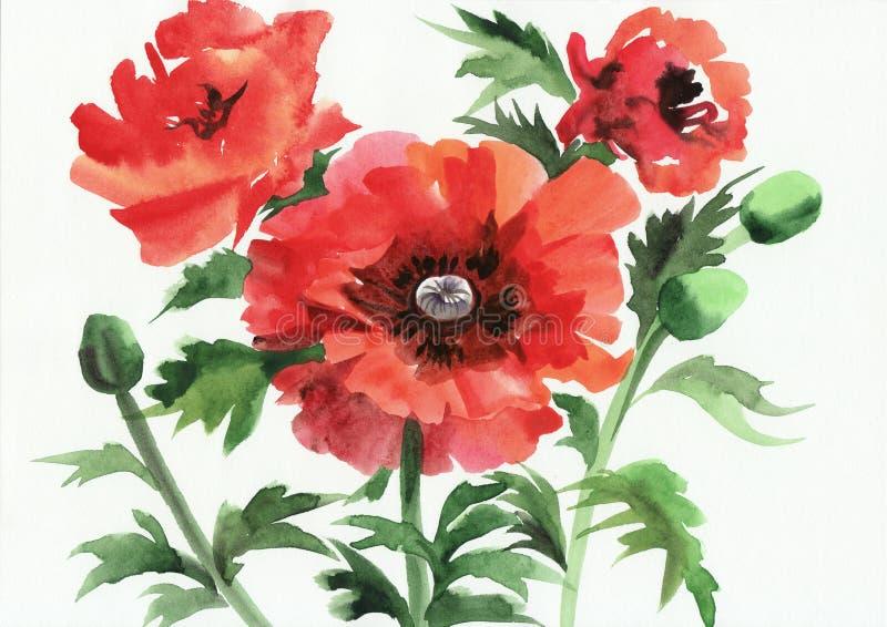 Ζωγραφική Watercolor των κόκκινων παπαρουνών διανυσματική απεικόνιση