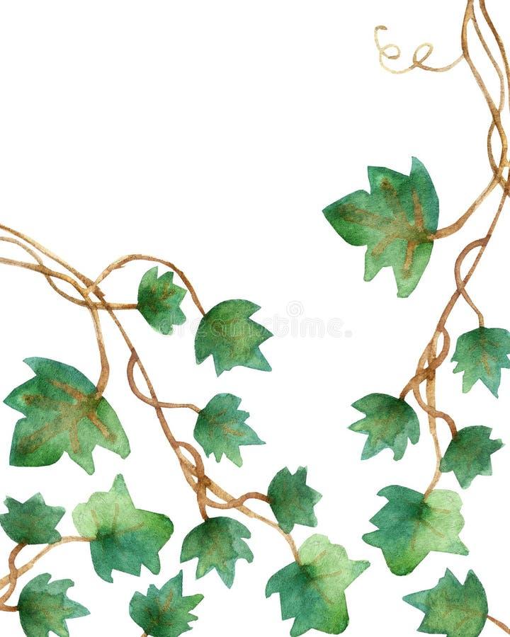 Ζωγραφική Watercolor των πράσινων φύλλων κισσών που απομονώνονται σε ένα άσπρο υπόβαθρο Χρωματισμένη χέρι απεικόνιση Watercolor Π απεικόνιση αποθεμάτων