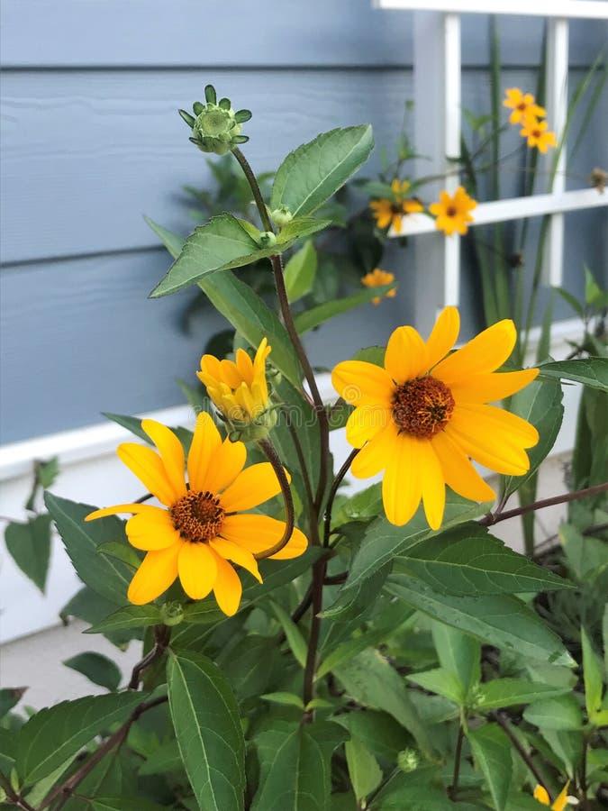 Ζωηρά κίτρινα και πράσινα λουλούδια κήπων στοκ φωτογραφία με δικαίωμα ελεύθερης χρήσης
