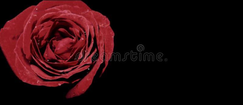 Ζωηρός κόκκινος αυξήθηκε γάμος καρτών αγάπης πρόσκλησης χαιρετισμού απεικόνισης υδατοχρώματος χαιρετισμού με το διάστημα στο μαύρ στοκ εικόνα με δικαίωμα ελεύθερης χρήσης