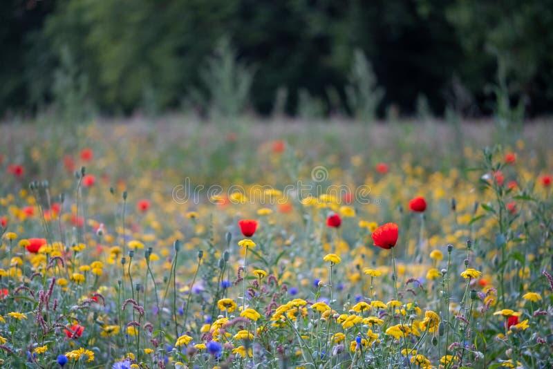 Ζωηρόχρωμα άγρια λουλούδια στα μπλε, τα κόκκινα και τα κίτρινα που αυξάνονται σε ένα πάρκο που περιβάλλεται από τα δέντρα, που φω στοκ φωτογραφίες με δικαίωμα ελεύθερης χρήσης