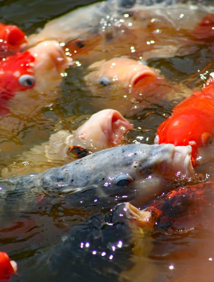 Ζωηρόχρωμα ιαπωνικά ψάρια Koi που κολυμπούν στη λίμνη και που ανταγωνίζονται για την κάθετη εικόνα τροφίμων στοκ φωτογραφία με δικαίωμα ελεύθερης χρήσης