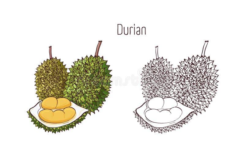 Ζωηρόχρωμα και σχέδια περιλήψεων στα μονοχρωματικά χρώματα durian που απομονώνονται στο άσπρο υπόβαθρο Ολόκληρος και διασπασμένος διανυσματική απεικόνιση