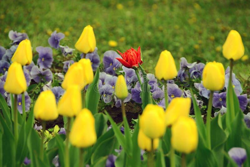 Ζωηρόχρωμα λουλούδια άνοιξη - μια κόκκινη τουλίπα μεταξύ των κίτρινων τουλιπών στοκ φωτογραφίες με δικαίωμα ελεύθερης χρήσης