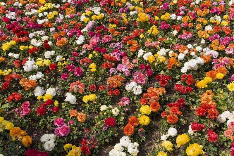 ζωηρόχρωμα λουλούδια αν& στοκ εικόνες
