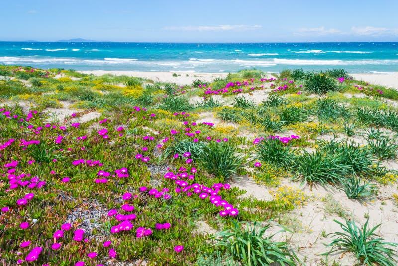 Ζωηρόχρωμα λουλούδια από Platamona την τυρκουάζ θάλασσα στοκ εικόνες
