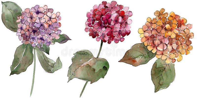 Ζωηρόχρωμα λουλούδια gortenzia Watercolor Floral βοτανικό λουλούδι Απομονωμένο στοιχείο απεικόνισης ελεύθερη απεικόνιση δικαιώματος