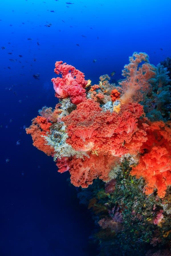 Ζωηρόχρωμα μαλακά κοράλλια σε έναν σκόπελο βαθιά νερών στοκ εικόνα