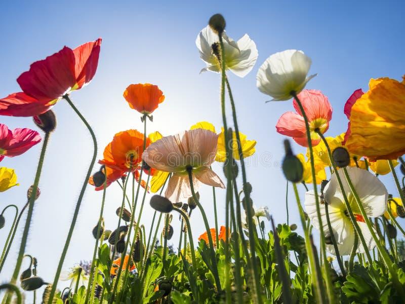 Ζωηρόχρωμα λουλούδια τομέων παπαρουνών με το υπαίθριο καλοκαίρι μπλε ουρανού στοκ φωτογραφία