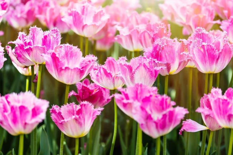 Ζωηρόχρωμα λουλούδια τουλιπών άνοιξη ρόδινα με το φως του ήλιου ως υπόβαθρο στοκ εικόνες
