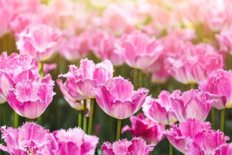 Ζωηρόχρωμα λουλούδια τουλιπών άνοιξη ρόδινα με το φως του ήλιου ως υπόβαθρο στοκ φωτογραφία με δικαίωμα ελεύθερης χρήσης