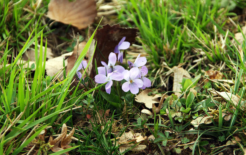 Ζωηρόχρωμα λουλούδια των άγριων βιολέτων, tricolor Viola στοκ φωτογραφία