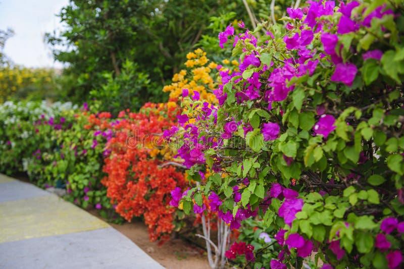 Ζωηρόχρωμα λουλούδια Bougainvillea στοκ εικόνες