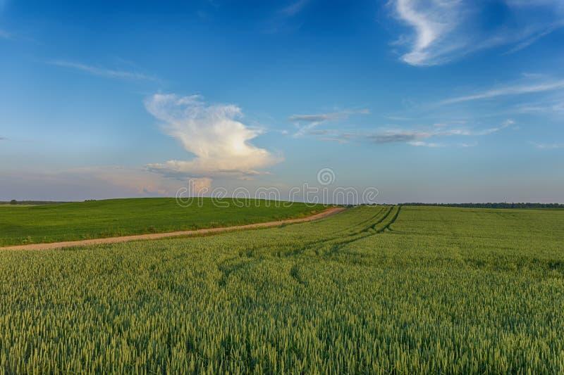Ζωηρόχρωμα ρόδινα σύννεφα πέρα από έναν τομέα σίτου στο ηλιοβασίλεμα στοκ εικόνες