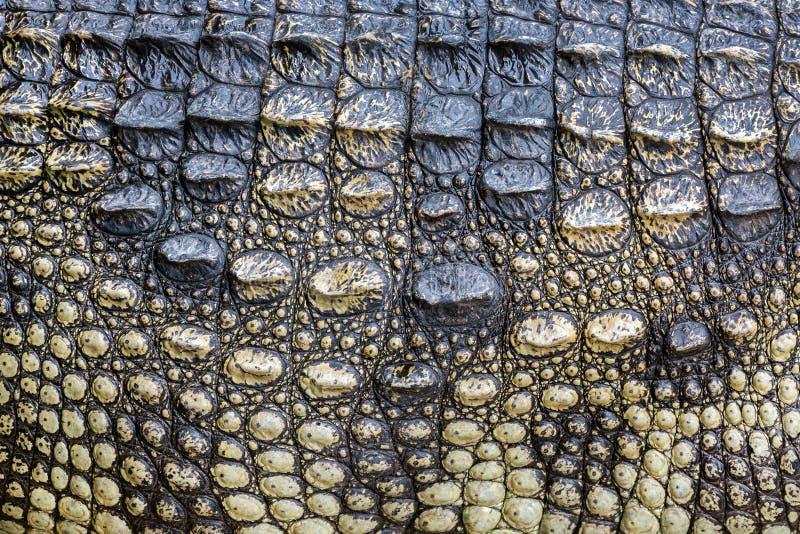 Ζωηρόχρωμα σχέδια και δέρμα του κροκοδείλου στοκ φωτογραφίες