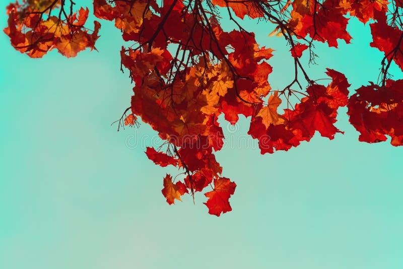 Ζωηρόχρωμα φύλλα σφενδάμου φθινοπώρου Ουρανός μέσω των κλάδων δέντρων φθινοπώρου από κάτω από Υπόβαθρο φυλλώματος r στοκ φωτογραφία με δικαίωμα ελεύθερης χρήσης