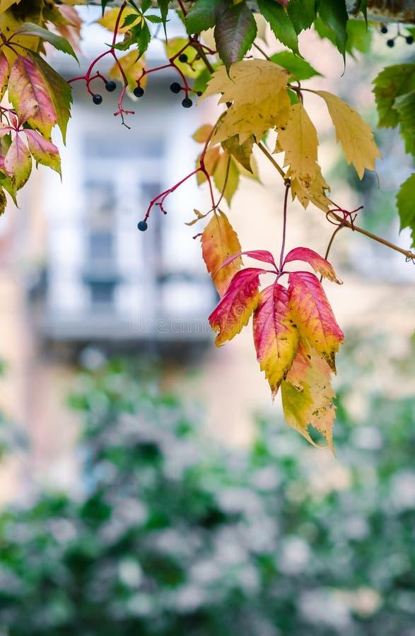 Ζωηρόχρωμα φύλλα των άγριων σταφυλιών στοκ φωτογραφία