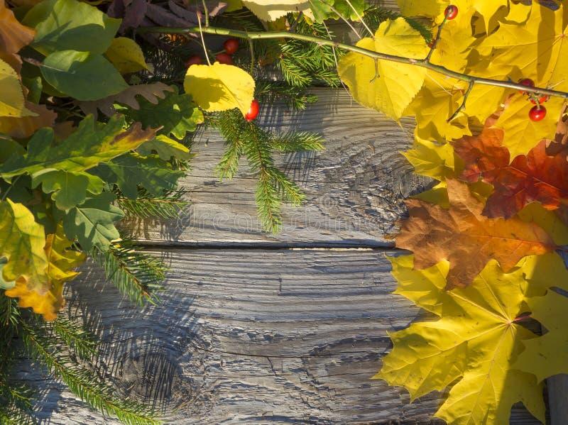 Ζωηρόχρωμα φύλλα φθινοπώρου στον κόκκινο, πορτοκαλή, κίτρινο και κλαδίσκο έλατου και το ροδαλό ισχίο στον ξύλινο πίνακα σανίδων g στοκ εικόνες με δικαίωμα ελεύθερης χρήσης