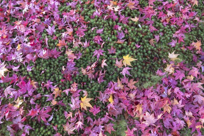 Ζωηρόχρωμα φύλλα φθινοπώρου σφενδάμνου με το πράσινο βρύο στοκ φωτογραφία με δικαίωμα ελεύθερης χρήσης
