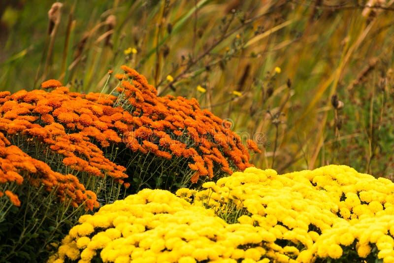 Ζωηρόχρωμα χρυσάνθεμα φθινοπώρου κατά μήκος της άκρης του δρόμου στοκ εικόνες με δικαίωμα ελεύθερης χρήσης