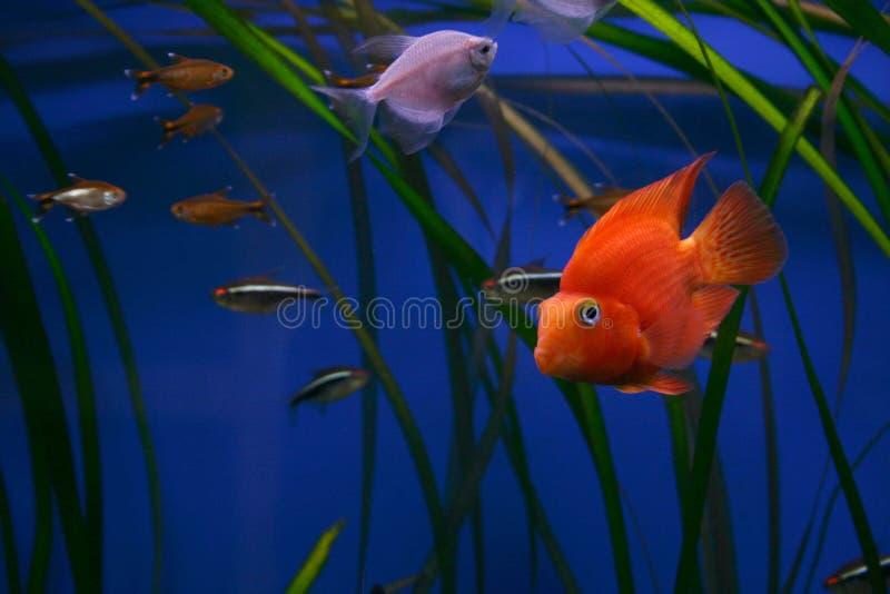 Download ζωηρόχρωμα ψάρια ενυδρείων στοκ εικόνα. εικόνα από ποικιλίες - 382545