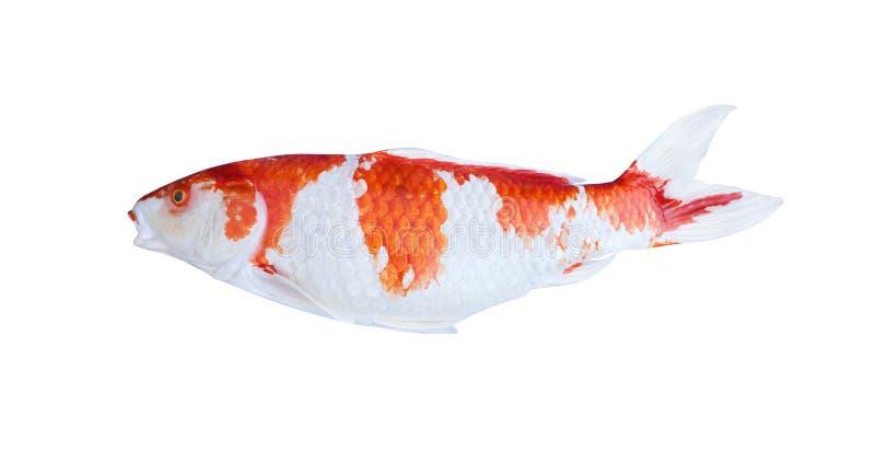 Ζωηρόχρωμα ψάρια κυπρίνων ή koi που απομονώνονται στο άσπρο υπόβαθρο με το ψαλίδισμα της πορείας στοκ εικόνες με δικαίωμα ελεύθερης χρήσης