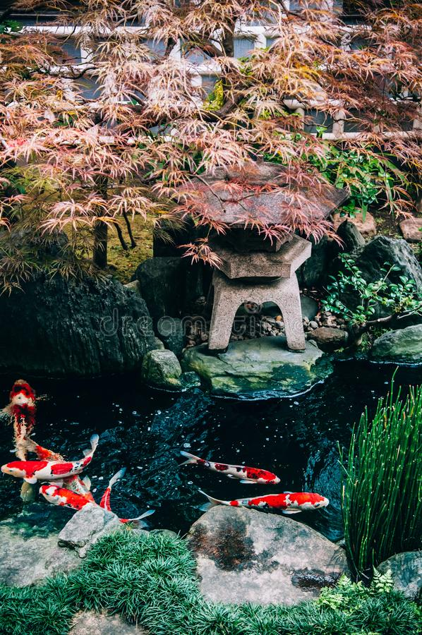 Ζωηρόχρωμα ψάρια κυπρίνων Koi στην ιαπωνική λίμνη κήπων με τις εγκαταστάσεις, tre στοκ εικόνα